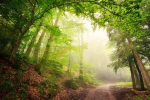 Natürlicher Torbogen aus Bäumen im Wald führt ins neblige Licht